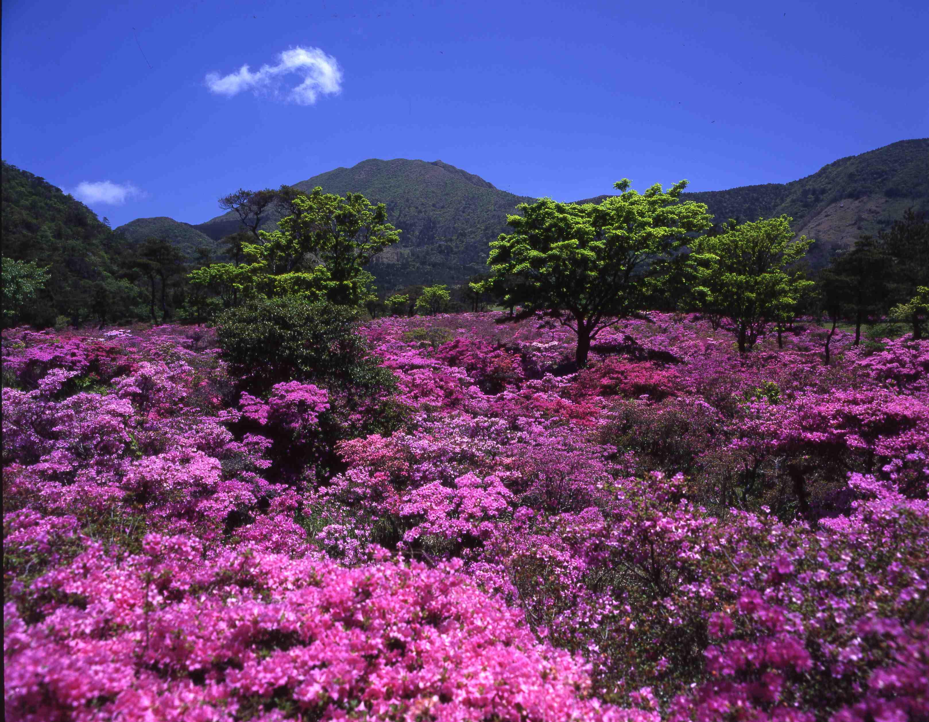 雲仙に花の季節が訪れます。
